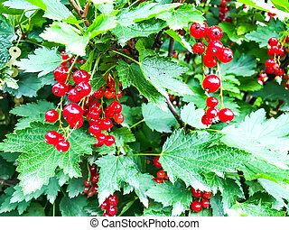 Ripened berries of red currant on branches with green leaves