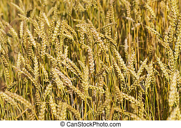 ripened cereals - the ripened ears of cereals photographed ...