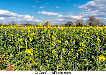 Ripened rapeseed on a field in western Germany, in the background a blue sky with white clouds.