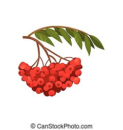 Ripened sour berries rowan. Natural seasonal harvest. -...