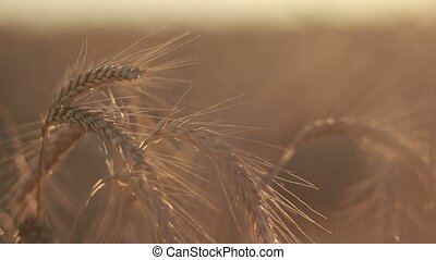 Ripened spikes of golden wheat in sunset light - Closeup...