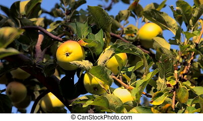 Ripening apples - A beautiful apple tree with ripening...