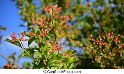 Ripening arrowwood berries on background of blue sky -...