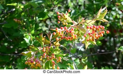 Ripening arrowwood berries on green background