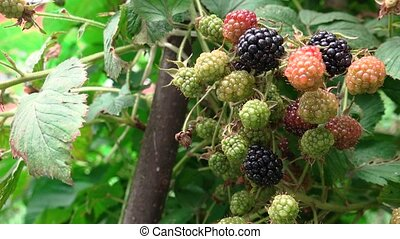 Video of ripening blackberry in the orchard during summer