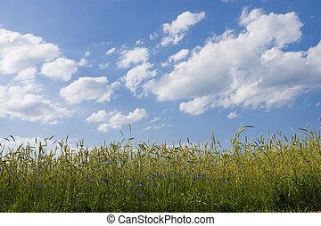 ripening, campo, centeio, verão