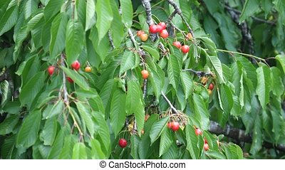 ripening cherries in the wind in spring