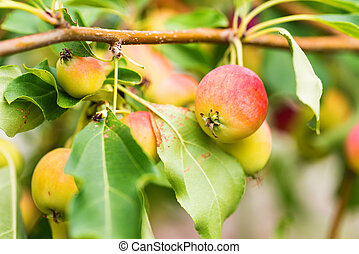 Ripening Chinese apple or Malus prunifolia - Close up tree...