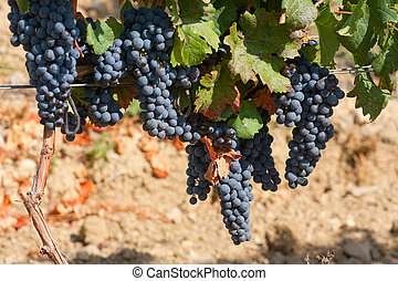 Ripening cluster of wine grapes surrounded by leaves
