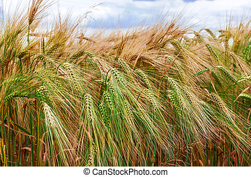 Ripening ears of barley on the field in summer