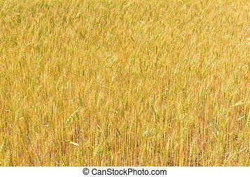 ripening ears of wheat in the Russian summer field