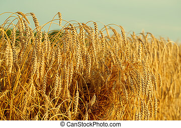 Ripening ears of yellow wheat field on the sunset
