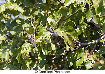 Ripening figs on the tree