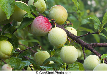 Immature fruits of Japanese plum cultivar Superior ripen on the tree in a home orchard