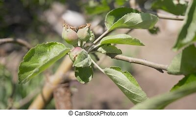 Ripening fruits of Apple on a branch. The wind rustles the ...
