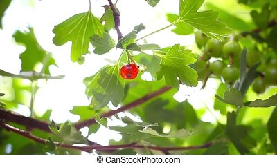 ripening fruits of black currant