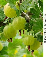 ripening gooseberries - some ripening gooseberries on the...