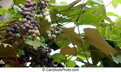 Ripening grapes in the vineyards