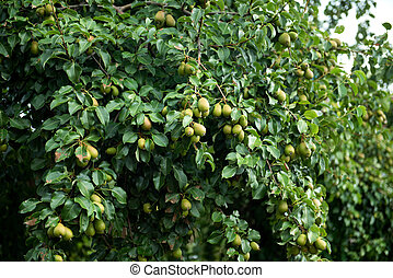 Ripening green pear on a bush