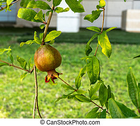 Ripening growing pomegranate on a tree