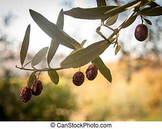 Ripening olives on the branch - Olives ripening on the...