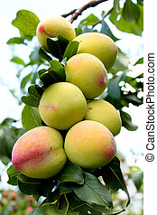 Ripening peaches on orchard tree - Bunch of ripening peaches...