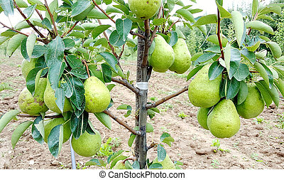ripening pears on the tree