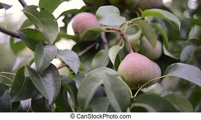 ripening pears on tree - fresh organic pears ripening on big...