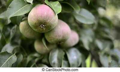 ripening pears tree - fresh organic pears ripening on big...