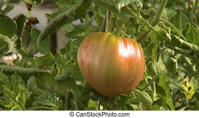 Ripening Red Tomato - Handheld, medium close up shot of a...