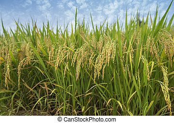Ripening rice in a paddy field