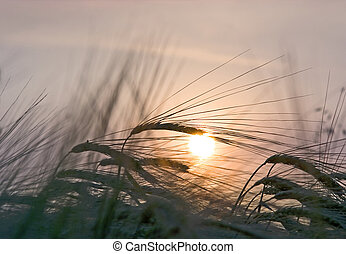 Ripening rye on a decline of day