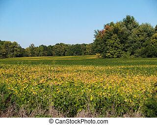 ripening, soja, campo, em, indiana