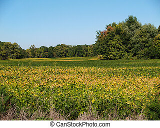 Ripening Soybean Field in Indiana - Colorful green and...