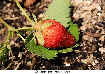 ripening strawberry garden bed backyard