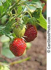 Ripening strawberry on a plant