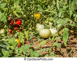 Ripening tomato fruits growing on the vine