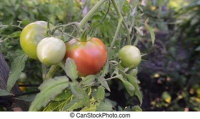 ripening tomatoes branch - organic tomatoes ripening on...