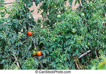 Ripening tomatoes in the open field.
