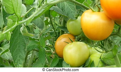 Ripening Tomatoes Panorama - Ripening green and red tomatoes...