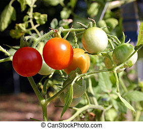 Ripening tomatos - A bunch of ripening tomatos on the plant