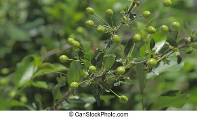 Ripening unripe cherry tree cherries on orchard tree the...