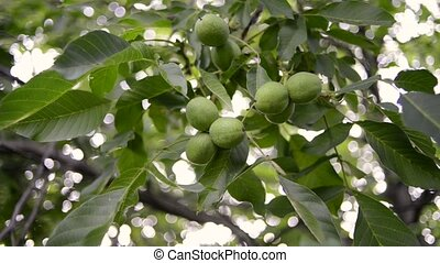 ripening walnuts tree - fresh green walnuts ripening on big...