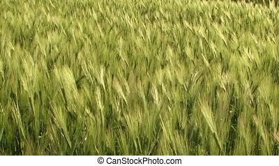 Ripening wheat crop