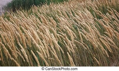 Ripening wheat in the field. Slow motion - Ripening wheat in...