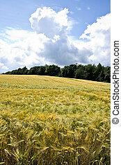 Riping grain on the fields in summer sun