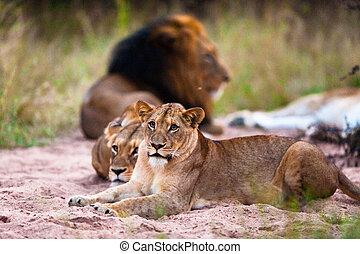 riposare, leoni