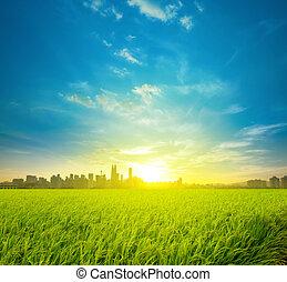 risgryn gärde, plantering, och, stad