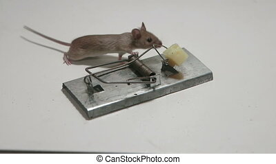 Risky little mouse eating cheese