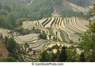 riso, terrazzi, di, yuanyang